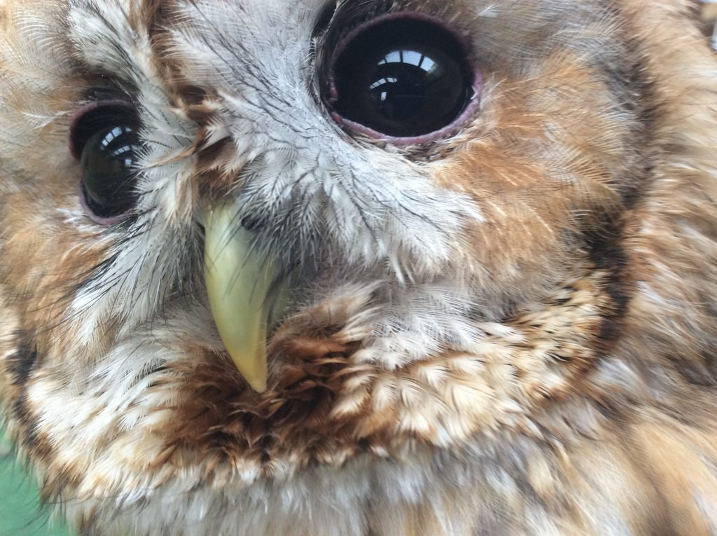 Timmy the Tawny Owl