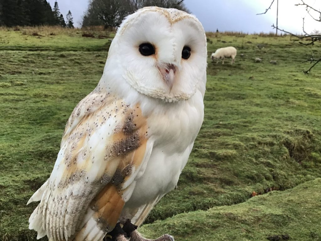 Snoopy - Barn Owl