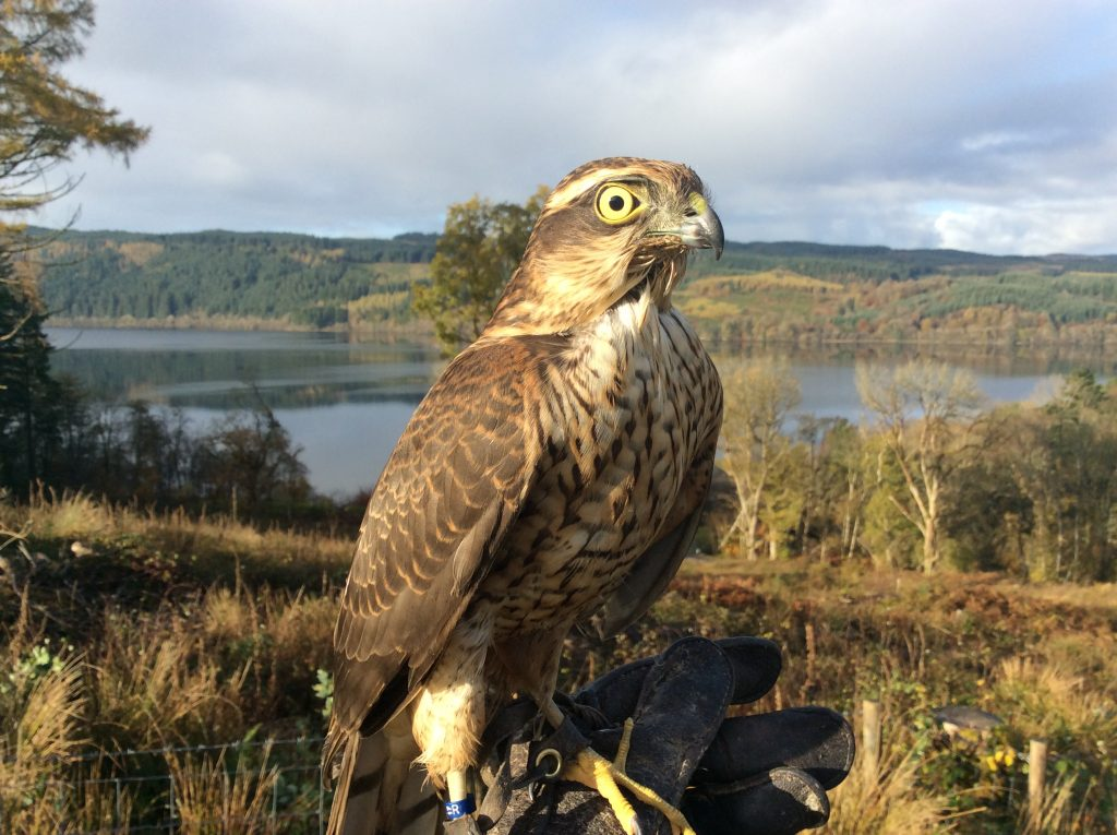 Poppy - female Sparrowhawk