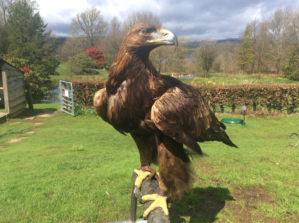 Heidi, female Golden Eagle