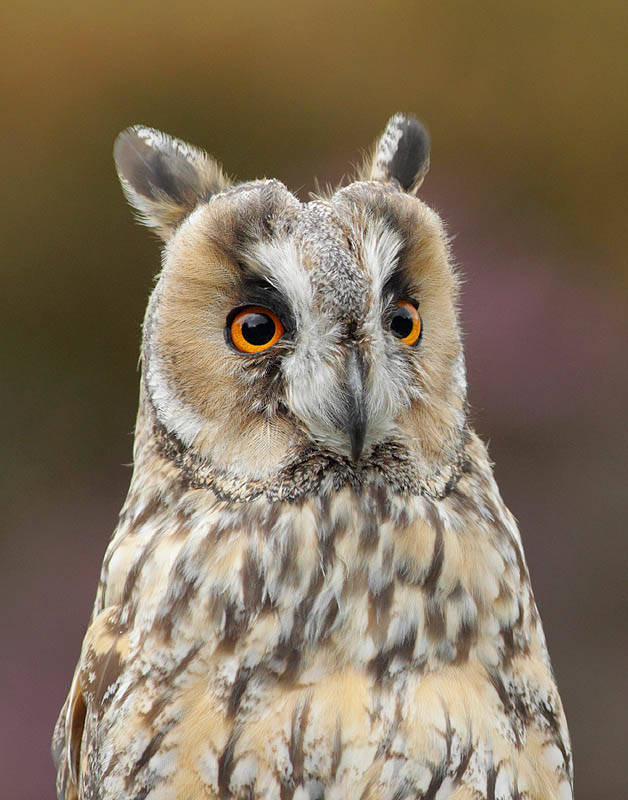 Wally the Long-Eared Owl
