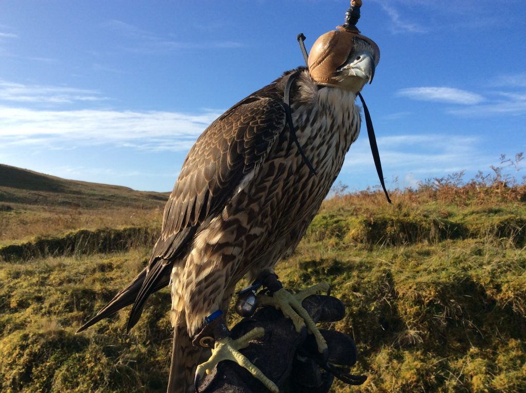 Buzzard with hood