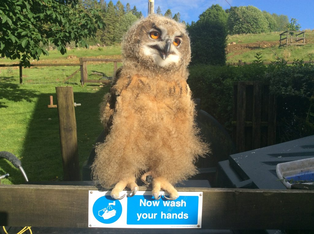 Chip - European Eagle Owl