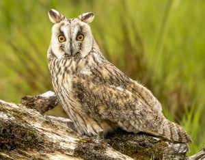 Wally - Long Eared Owl