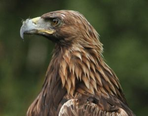 Heidi - female golden eagle